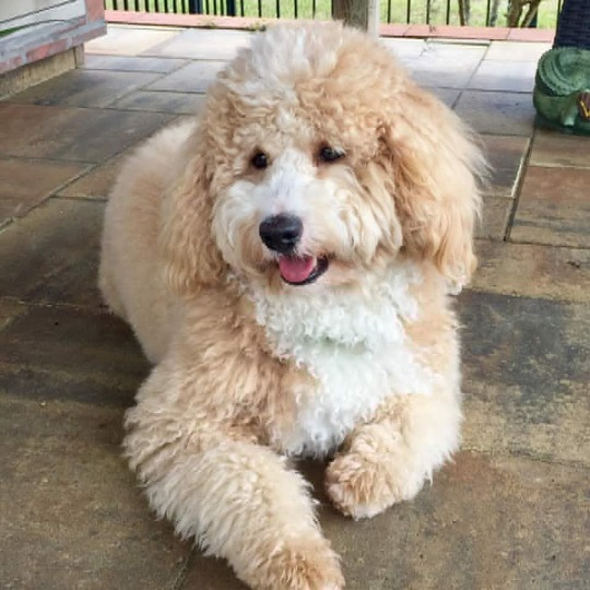 Hope Springs Doodles TeddyBear Goldendoodle